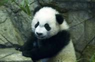 """旅美大熊猫""""贝贝""""回国欢送活动启动 预计将有数万人前来道别"""