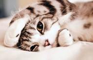 最受国人喜爱的猫咪品种top5,第一名当之无愧