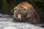 世界最胖的野生棕熊体重超900斤,牙口不好还吃得挺胖证