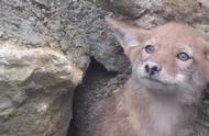 救助一只被卡住的小狐狸,委屈的小眼神让人看了心疼。