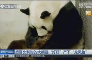 """旅居比利时的大熊猫""""好好""""产下""""龙凤胎"""",令所有人喜出望外!"""