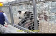 旅美大熊猫贝贝将回国,饲养员:到最后一刻我会哭