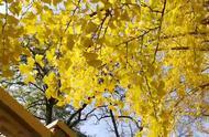 北京钓鱼台银杏大道 是京城秋季赏叶目的地之一
