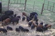 澳大利亚野猪泛滥成灾,为了捕杀直升机都用上了,网友:大手笔