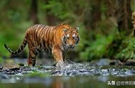 什么技能是狮子不擅长,而老虎非常熟悉的?网友说有这四项