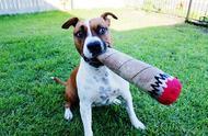 狗狗不愿跟你玩,作为主人就太失败了!想当狗狗玩伴,你要这样做