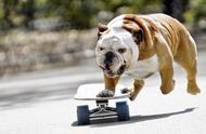 明明可以靠颜值,偏靠才艺出道,英国斗牛犬滑板玩得比人溜