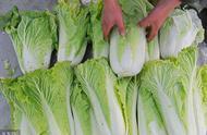 大白菜栽培有技巧