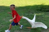 猫咪挑衅农村霸主大白鹅,本以为猫咪很厉害,没想到直接被碾压!