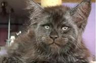 因为长相酷似人脸而走红的猫,外网评价好坏参半,国内吃得消吗?