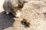 农村猫咪就是厉害,这么小就懂得抓老鼠,长大后不得了!