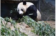 舍不得熊猫贝贝回国,美国动物园举行欢送活动