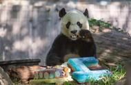 旅美大熊猫贝贝过4岁生日,吃蛋糕动作萌翻众人,很快将被送回国
