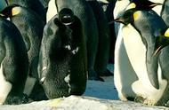 能活着就是奇迹!南极出现唯一一只全黑帝企鹅,鹅群动作令人感动