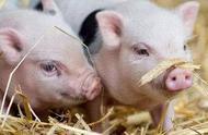 猪肉价格为何上涨?什么时候能回到正常水平?官方解答来了