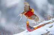 """70歲老人用相機拍到了一群在雪地跳舞的""""火鳳凰"""",美的像一幅畫"""