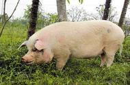"""""""猪坚强""""遇上本命年,12岁的""""猪坚强""""年纪大了,步履蹒跚"""