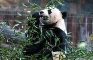 """旅美大熊猫""""贝贝""""启程回中国,粉丝:华盛顿永远有你的家"""