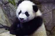"""玩嗨了!旅美大熊猫""""贝贝""""雪中嬉戏,行走打滚爬树一刻不停"""