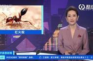 东京出现剧毒红火蚁 它们让日本慌了!严重可致死,路上看见千万别摸