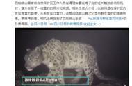 四姑娘山首次拍到野生雪豹的清晰影像