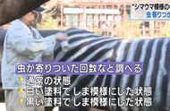 日本人把牛涂成斑马 研究会不会不容易招虫子