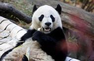 """旅美大熊猫""""贝贝""""最后亮相美国动物园 啃甘蔗爬树不亦乐乎"""