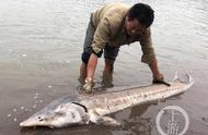 百余斤大鱼惊现重庆江边 长度超两米