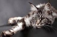 缅因猫也不全是长相威武,这只长得像人脸的网红猫家里又添新丁了