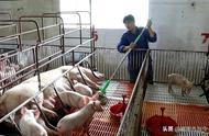 越南成东南亚首个爆发非洲猪瘟的国家,各省市全力防止疫情扩散