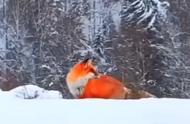 红色精灵!大兴安岭雪地现火狐狸 鲜红毛发令人惊艳