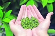 雀舌茶多少钱一斤特级雀舌多少钱一斤