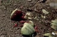 摘瓜2.0版?上万斤西瓜被摘光,警方却说不算偷
