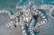 我们都知道章鱼很聪明,可它为什么这么聪明,来听专家讲讲