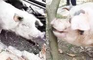 """被埋36天的12岁""""猪坚强""""迎来本命年:重400斤能吃能喝 最爱枇杷"""