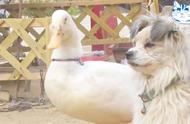 可爱的鸭子爱上狗狗,甚至不介意狗狗,是带着小奶狗的单身妈妈!