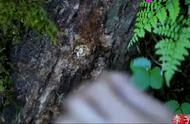 李子柒:大山里亲自种蘑菇,做各种蘑菇美味。
