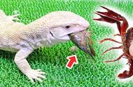 宠物蜥蜴吃小龙虾,一口一个吃得真香,高兴坏了!