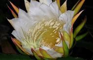 这种花也是夜晚才盛开的,和昙花一样漂亮,看看吧!