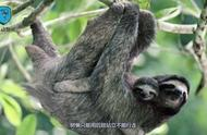 世界上最懒哺乳动物,树懒:我承认我懒但我觉得我是靠卖萌吃饭的