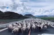 好有礼貌的羊,不懂的全被吃了!
