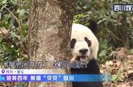 """旅美熊猫""""贝贝""""回国首秀,害羞躲树后吃竹笋"""