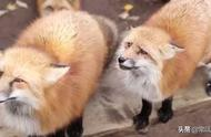 分享一个委屈巴巴的狐狸