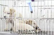 实拍台湾流浪狗家园,12天内没人认养,则实行安乐死