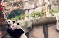 四川绵阳安州地震,大熊猫展现超强求生欲