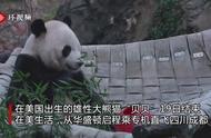 """您有一份""""熊猫快递""""请签收:旅美大熊猫贝贝今日回国"""