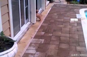 狗狗找不到入口,狗妈妈大黑狗三次跑出来教它