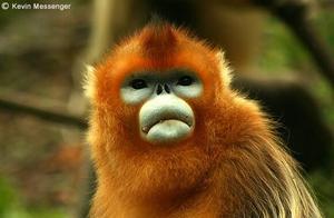 哺乳动物百科:川金丝猴(图)!