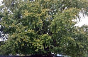 跑了老大远去拍银杏树 结果他还是嫩绿嫩绿的