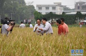 """袁隆平""""华南双季超级稻年亩产3000斤技术""""再创新纪录 年亩产达1537.78公斤"""